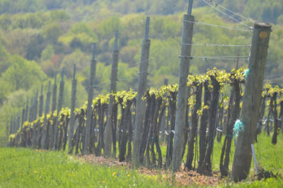 Veritas Vineyard and Winery vineyard bud break