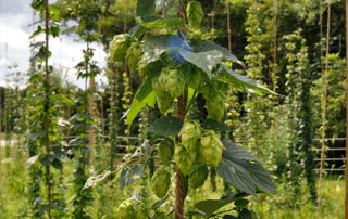 Hops at Wild Wolf