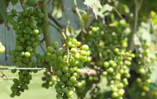 Flying Fox grapes